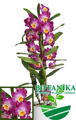 дендробиум-фиолетовый