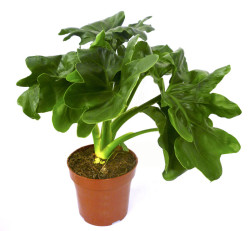 filodendron_15