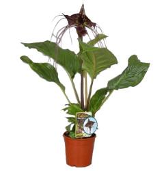 черная орхидея такка