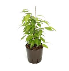 Ficus Goldie