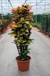 Codiaeum variegatum 'Mrs Iceton' 0