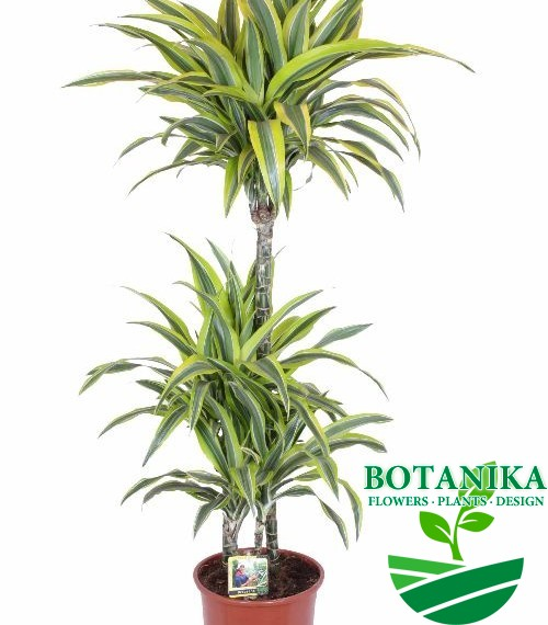 DRACAENA LEMON LIME120
