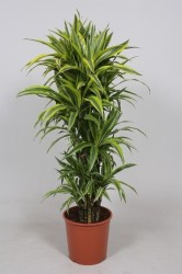 DRACAENA LEMON LIME150