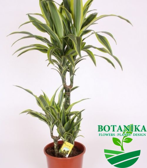DRACAENA LEMON LIME90