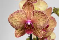 калейдоскоп_орхидея