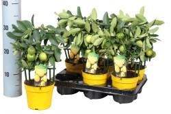 Цитрус лимонное дерево