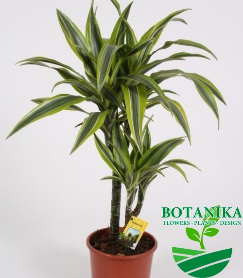 DRACAENA LEMON LIME65