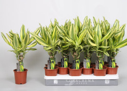 Dracaena_fragrans Yellow Coast