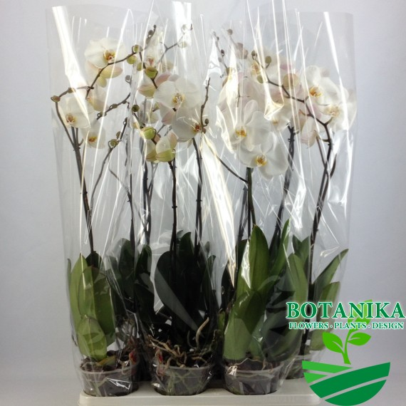 A2_Grandi-flora_Wit