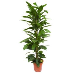 Ficus-Cyathistipula-21-110