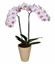 орхидея будапешт