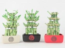 Lucky-bambuk-udachi
