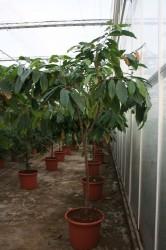 Теоброма какао (Theobroma cacao)