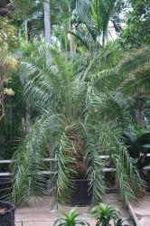 Phoenix hanceana