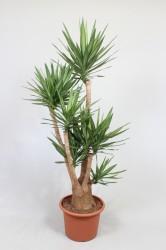 Yucca Elmila