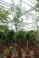 Acasia chloriophylla