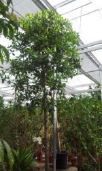 Calophyllum brasiliensis