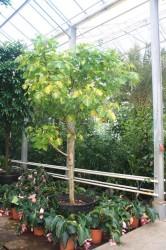 Erytrina variegata