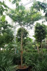 Опьяняющее дерево