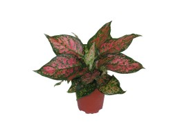 aglaonema-red-valentine1