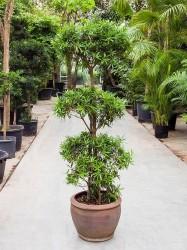 Podocarpus chinensis Bonsai