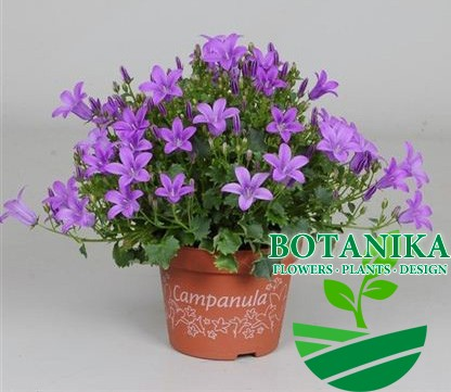 кампанула_фиолетовая