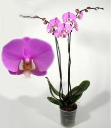 Люксор орхидея
