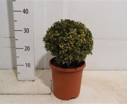 Буксус вариєгата 25 см