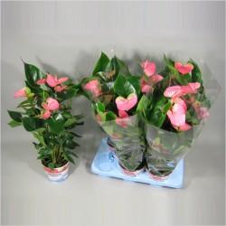 антуриум розовый 65 см