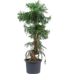 Растения выше 3-х метров
