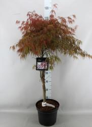 Acer Palmatum 'garnet' 100 см