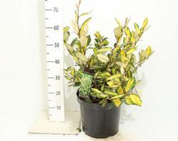 Elaeagnus Pungens 'maculata' 60 cм