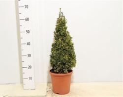 Самшит вечнозелёный 'variegata' 50 см