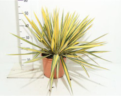 Юкка филаментоза 40 см