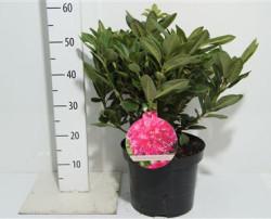 Rhododendron 'rocket' 50см