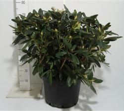 Rhododendron (y) 'sweet Sue' 70 см