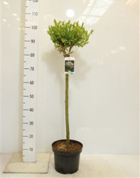 Salix Integra 'hakuro-nishiki' 100  см