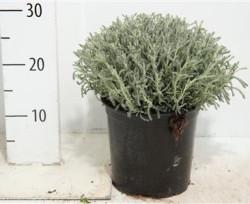 Santolina Chamaecyparissus 25 см