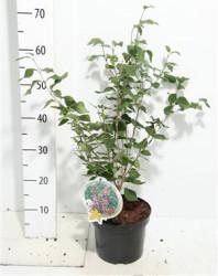 Syringa Microphylla 'superba' 50 см