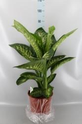 Диффенбахия тропик сноу 85 см