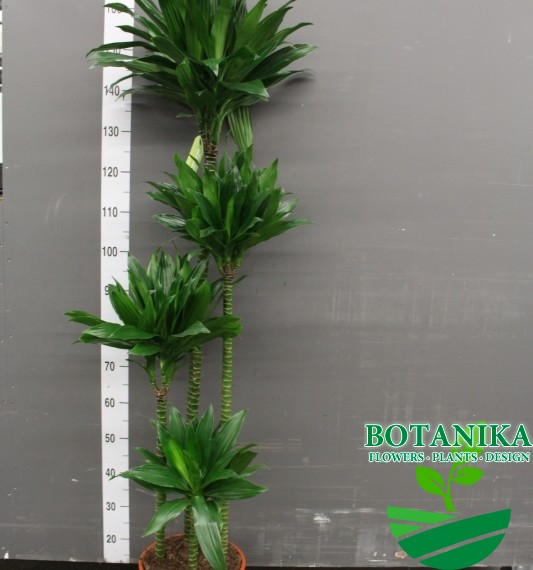 Драцена грин джевел  170 см