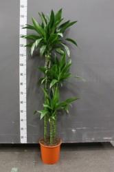 Драцена джанет креиг 140 см