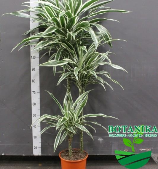 Драцена White stripe 140 см