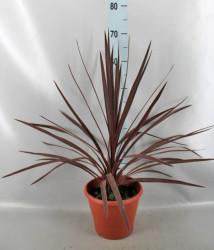 Кордилина red star 70 см