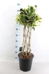 Кротон тамара плетеный 110 см