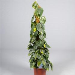 Филодендрон скаденс Бразильский  120 см
