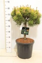 Pinus Mugo 'carsten' 80 см