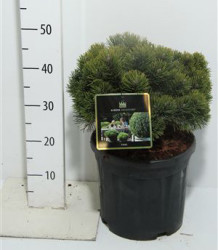 Pinus Mugo 'march' 40 см