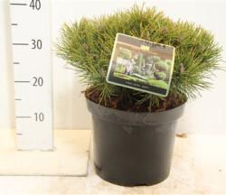 Pinus Mugo 'mops'  30 см