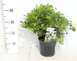 Pittosporum Tobira 'nanum' 30 см
